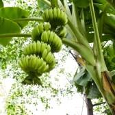 10727759-banana-tree-with-a-bunch-of-bananas