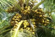 images.jpg coconut tree
