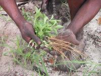 Medicinal_Roots_fs