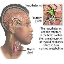 images.jpg pineal and thyroid