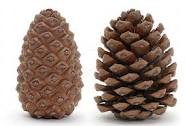 index.jpg Pine cones