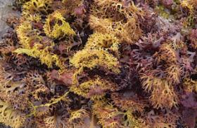DSC_1549 Seaweed