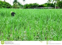 index-young-cane-field