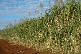 indexsugar-cane-with-arrows